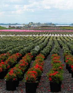 Kraemer's Nursery in Mt. Angel, Oregon, produces plants on a vast scale, including the use of an 11-acre gutter-connect greenhouse. Each year the grower carefully constructs a thorough production plan to ensure the best chance of financial success. Photo by Curt Kipp