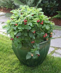 Raspberry Shortcake sports thornless canes and has a compact growth habit that thrives in patio pots. Photo courtesy of Fall Creek Farm and Nursery Inc.