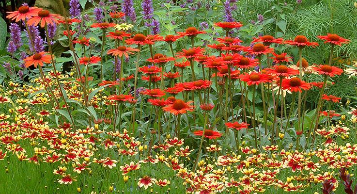 Echinacea Explosion