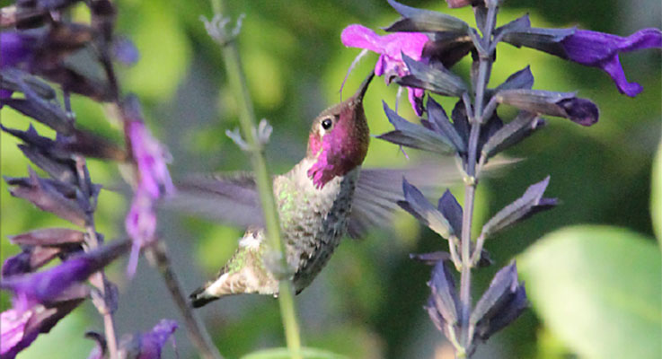 Sages such as Salvia 'Amistad' are hummingbird favorites. Photo by Doug Barragar