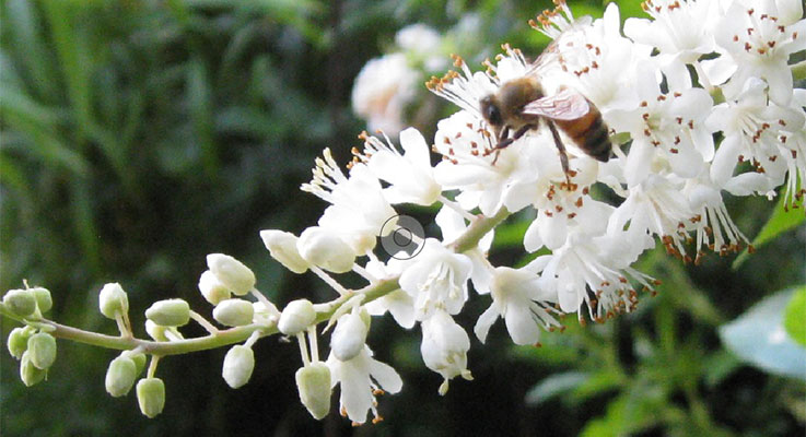 Bees swoon for the sweetly fragrant — reminiscent of root beer, according to some — flowers of Clethra alnifolia 'Vanilla Spice'. Photo by Melissabees.com