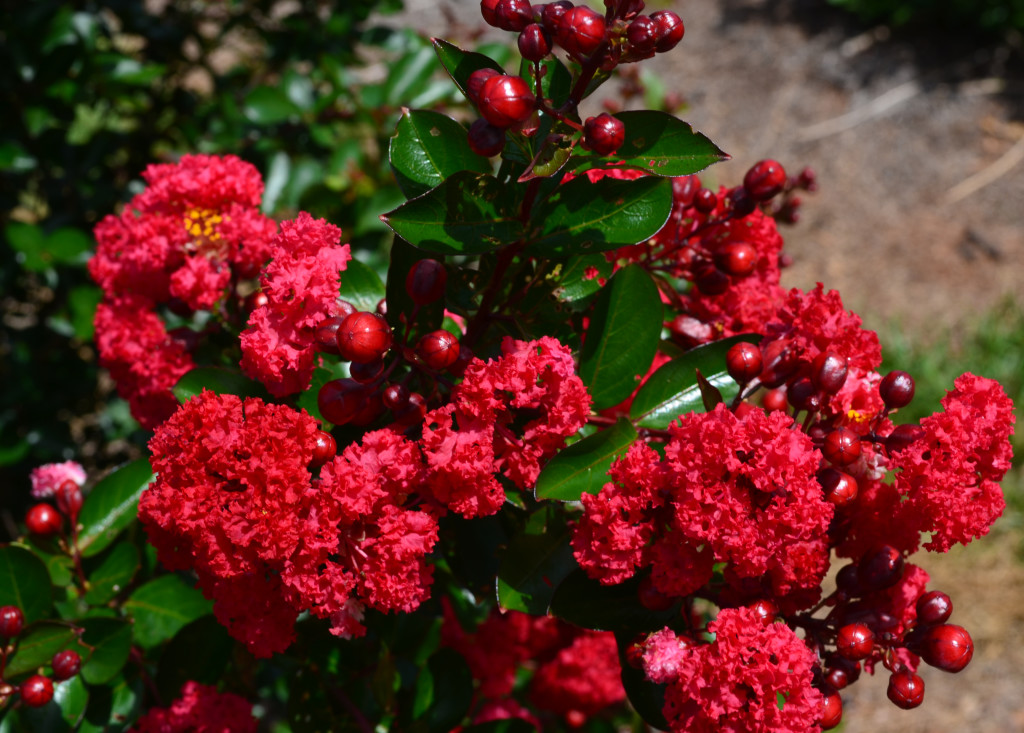 First Editions® Ruffled Red Magic® Crape Myrtle (Lagerstroemia 'PIILAG-VII' PPAF) won People's Choice honors at the 2015 Farwest Show.