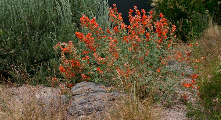 Plants native to Central Oregon, such as globemallow orange flower, oceanspray and sagebrush, are some of the easiest plants to grow in a high desert garden. Photo by Amy Jo Detweiler