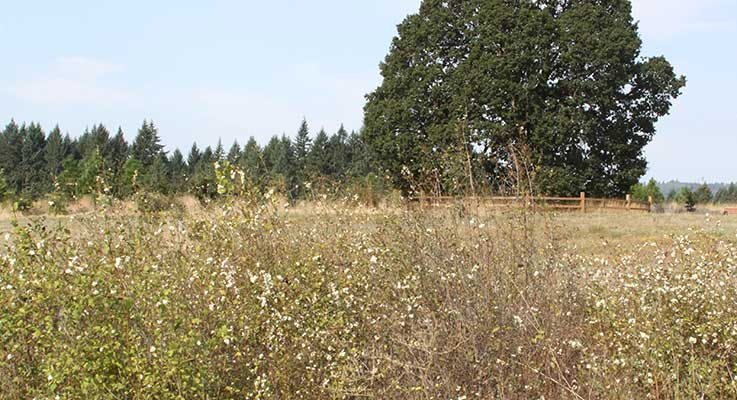 Metro, the regional government serving the Portland area, is in the process of restoring an oak savanna at Graham Oaks Natural Area in Wilsonville, Oregon. The former farm has been replanted with natives. Photo by Curt Kipp