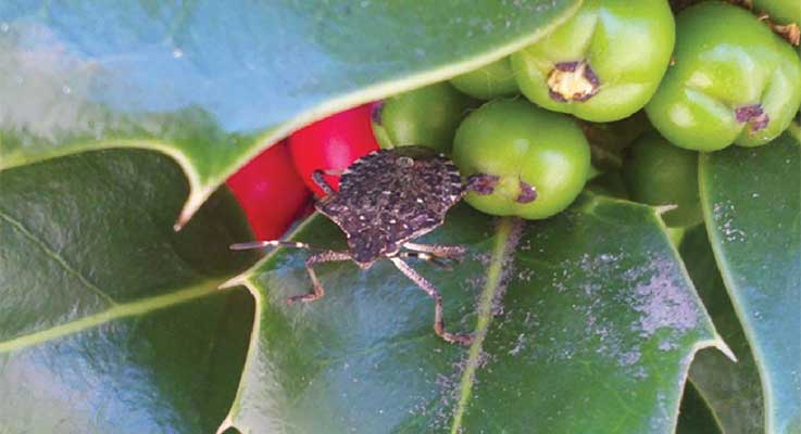 English holly is a common ornamental that is a reproductive host of brown marmorated stink bug in Oregon.