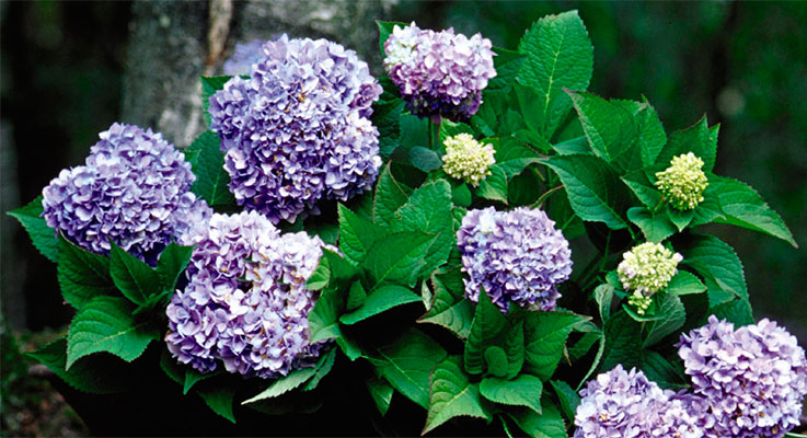 The original Endless Summer was the first hydrangea (discovered by Vern Black of Bailey Nurseries in 1983) that blooms on the previous year's woody stems as well as the new season's growth. Photo courtesy of Bailey Nurseries