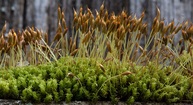 Rooftop moss (Dicranoweisia cirrhata) with capsules, each on the tip of a seta. Photo by Martin Hutten