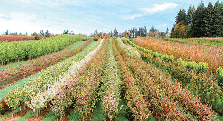 Surface Nursery is one of Oregon's longest running nursery success stories. Founded in 1925 by Melvin Surface with a handful of azalea seeds, it has grown to 300 acres of liner production. Photo by Curt Kipp