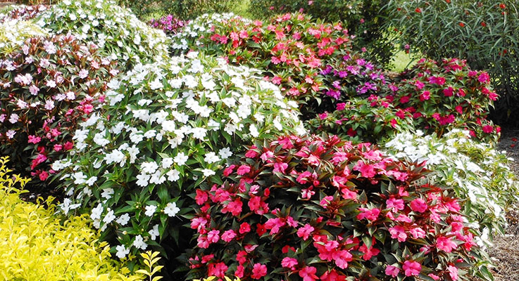 SunPatiens are resistant to the diseases that plagued impatiens, including fungal blights and rots, viruses and bacterial wilt — and they deliver continuous color from spring through frost. Photo by Allen Owings-LSU AgCenter