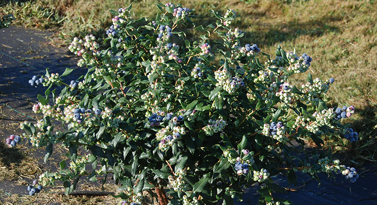 'Perpetua' is an ornamental blueberry that flowers and fruits twice a season. It flowers in the spring, has a crop in June, flowers again in July and fruits until frost. The photo here was taken September 12 and shows its plentiful second crop. Photo by Chad Finn
