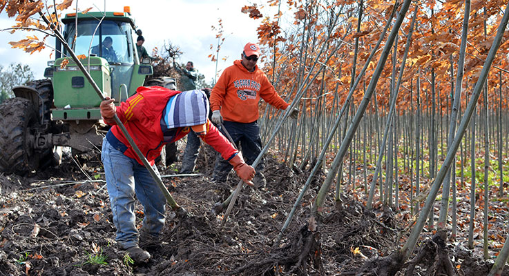 Workers dig out bare-root trees at Carlton Plants in Dayton. photo by Denise Ruttan