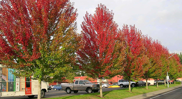 As the cultivar name suggests, Acer rubrum 'October Glory' is perhaps best noted for its exceptional fall color. A fast grower, it tops out at 40–50 feet tall with an oval rounded form.