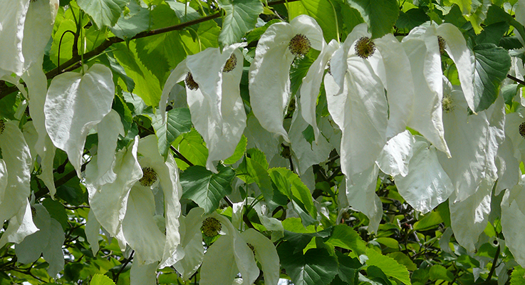 "Known as the ""dove tree"" or ""handkerchief tree,"" Davidia is part of the dogwood family and blooms from April to May with breathtaking inflorescences, each composed of a small reddish flower and long, pure white bracts, which are said to resemble dangling handkerchiefs or doves resting on the branches. Photo courtesy of the National Education Network"