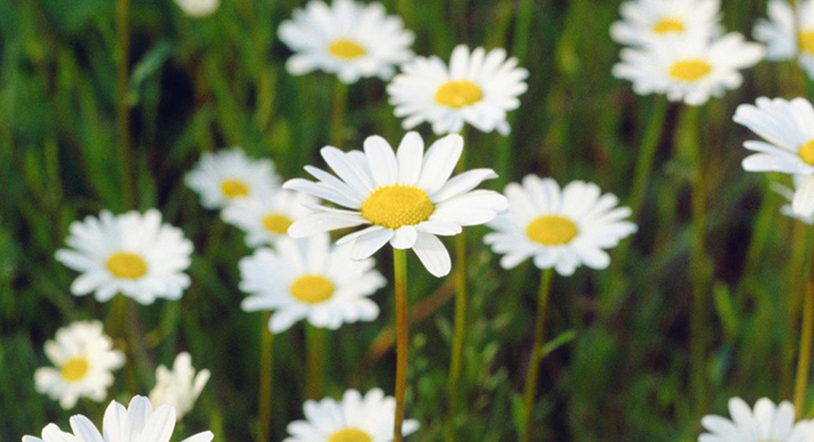 Where do new plants come from Where did daisies originate