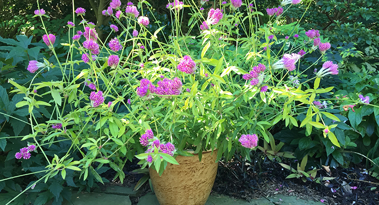 Globe amaranth (Gomphrena 'Cosmic Flare') brightens borders and containers  with its radiant gold foliage and bright magenta flowers. Photo courtesy of Plants Nouveau