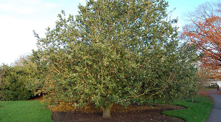 The benefits of broadleaf evergreens
