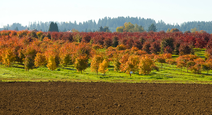 Don Schmidt Nursery Co. in Boring, Oregon, uses dryland farming techniques to raise its field-grown Japanese maples, dogwoods, cherry trees and other species. The result is trees that are hardier and better able to withstand environmental stress. Photo by Curt Kipp
