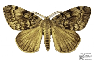 gypsy_moth_male-300x200