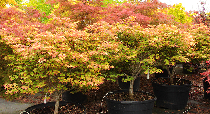 The Multiplicity Of Japanese Maples