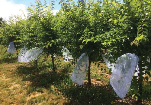 Trees with mesh bags