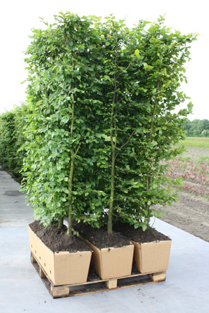 InstantHedge European Beech on pallets ready to ship
