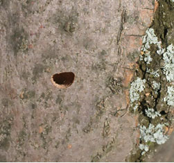 "Mature emerald ash borers leave behind a distinct ""D"" shaped exit hole, providing evidence of the pest."