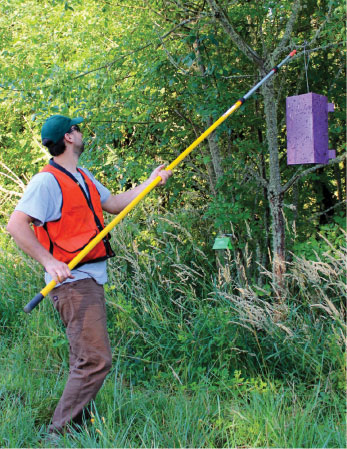 Invasive species specialist Wyatt Williams of the ODF Oregon Department of Forestry hangs an EAB trap. The pests are particularly attracted to the color purple and to the volatiles that are applied to the sticky walls of the trap.