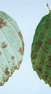 The leaf damage is unknown but ozone is suspected due to the distribution of symptoms on plants and leaves. Not the damage is worse on the upper leaf surface and between veins.
