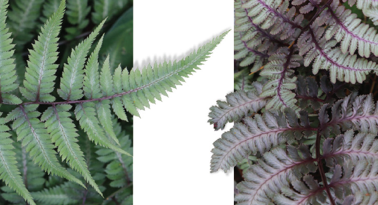 (Left) Althyrium niponicum 'Applecourt' and (right) Athyrium niponicum 'Regal Red'. Photos by Doug Barragar