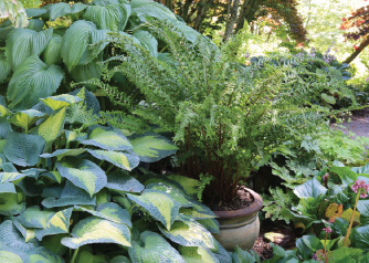 Dryopteris affinis Cristata 'The King' Photo by Doug Barragar