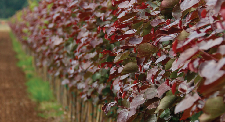 Merlot Redbud (Cercis × 'Merlot' PP22297) Photo by J. Frank Schmidt & Son Co.