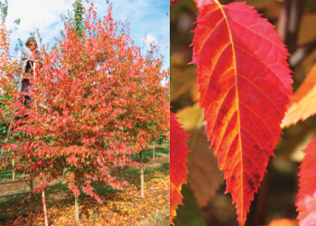 (Top) Native Flame hornbeam (Carpinus caroliniana 'JFS-KW6') tree and (bottom) its bright leaves. Photo by J. Frank Schmidt & Son Co.