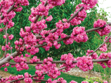 Cercis canadensis 'Pink Pom Poms' PPAF. Photo by J. Frank Schmidt & Son Co.