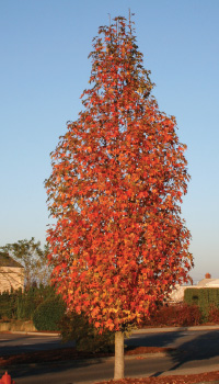 Liquidambar styraciflua 'Clydesform' Emerald Sentinel® sweetgum. Photo by J. Frank Schmidt & Son Co.