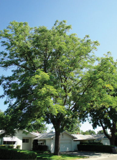 Espresso™ Kentucky coffee tree (Gymnocladus dioicus 'Espresso-JFS'). Photo by J. Frank Schmidt & Son Co.