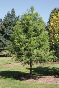 Green Whisper® Bald Cypress (Taxodium distichum 'JFS-SGPN'). Photo by J. Frank Schmidt & Son Co.