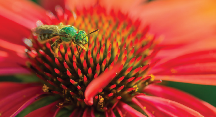 An agapostemon rests on a coneflower. Photo courtesy of Oregon State University