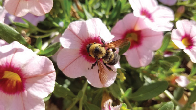 A bumble bee lands on a flower. Photo courtesy of Oregon State University