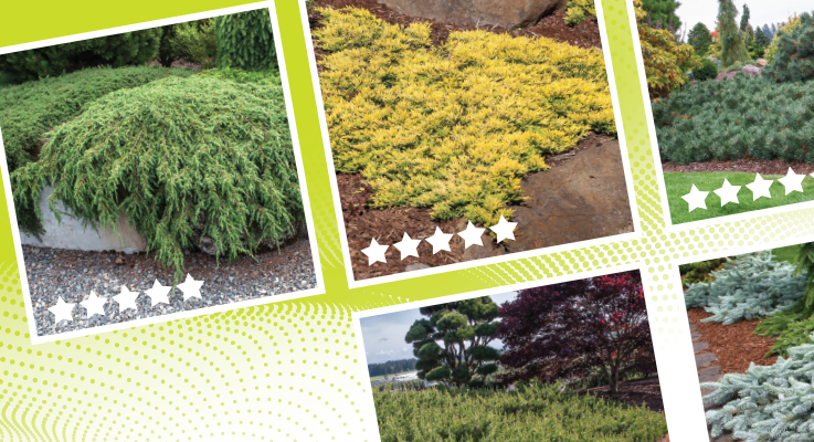 Ground cover conifers offer combinations of texture, color and height to meet a variety of landscape needs.