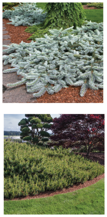 Top: Picea pungens 'Procumbens'. Bottom: Pinus sylvestris 'Hillside Creeper'. Photo courtesy of Iseli Nursery / Randall C. Smith Photographer