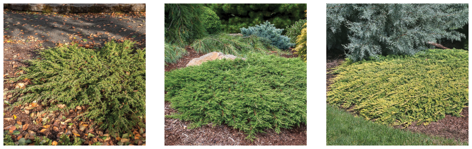 From left: Juniperus communis 'Effusa', Juniperus communis 'Green Carpet', Juniperus horizontalis 'Golden Carpet'. Photo courtesy of Iseli Nursery / Randall C. Smith Photographer