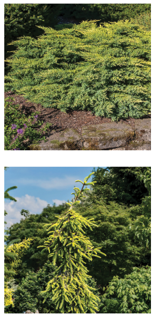 Top: Juniperus chinensis 'Daub's Frosted'. Bottom: Picea abies 'Gold Drift'. Photo courtesy of Iseli Nursery / Randall C. Smith Photographer