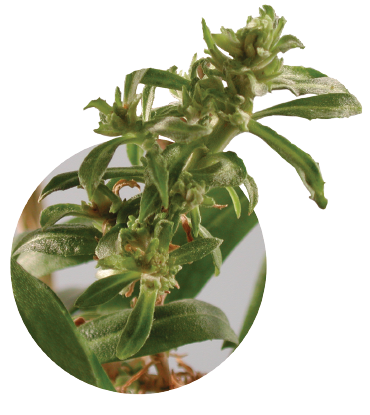 Figure 2. Multiple leafy galls arising from an Erysimum stem inoculated with Rhodococcus.