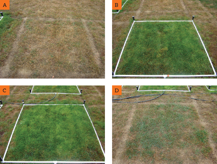 Figure 3: Irrigation plots three months after initiation of trial (taken Sep 2018); A) no irrigation applied; B) irrigation applied at 0.25 inch four times per week; C) irrigation adjusted monthly based on evapotranspriation rates (ET) from weather station data; D) irrigation applied at 1.0 inch once per month. Photos courtesy of Oregon State University.