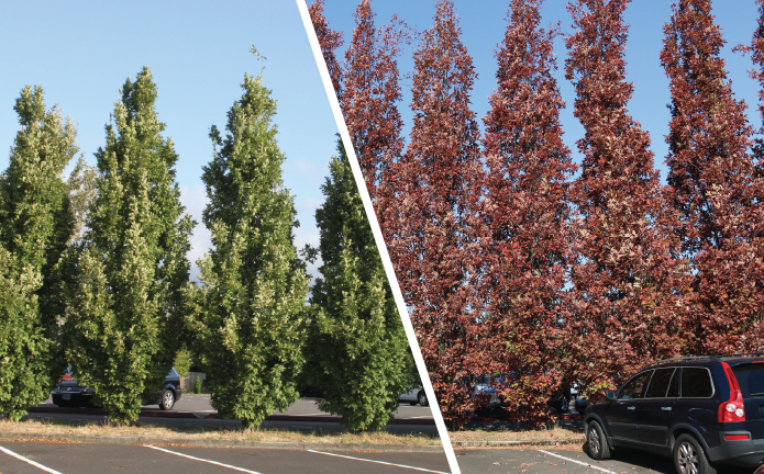 A side-by-side view of Crimson Spire™ Oak (Quercus robur × alba 'Crimschmidt') in 2009 and in 2018 at McMenamins Edgefield in Troutdale, Oregon. Photos courtesy of J. Frank Schmidt.