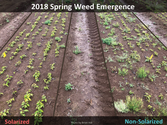 Fig. 2. Comparison of weed emergence in May, 2018 at the Clackamas Co. nursery 9 months after the solarization trial. Beds were solarized for 6 weeks or were not solarized. Seeds of Mazzard cherry were sown in fall, 2017.