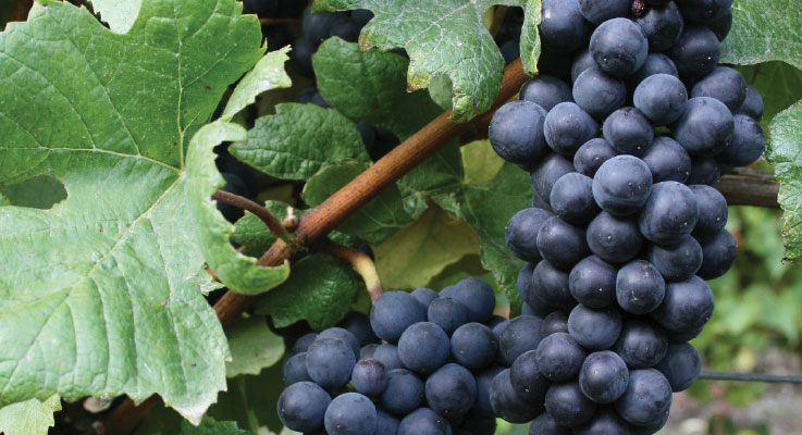 Grapes as a nursery opportunity