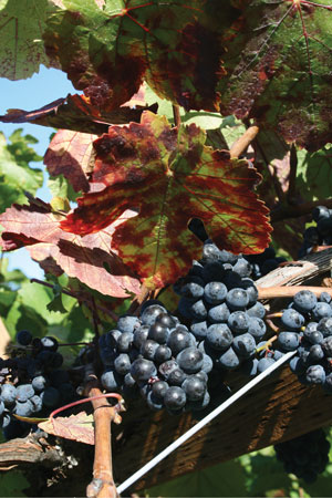 Figure 2: Pinot Noir grapes infected with Red Blotch Disease, a virus of grapevines that cause reduced wine quality. This virus has likely been present for some time but was not identified until 2012 when scientist were able to test for the virus. This virus heightened industry's awareness of the consequences of unclean plant material and increased the desire for certified clean plant material. Photo by Patty Skinkis
