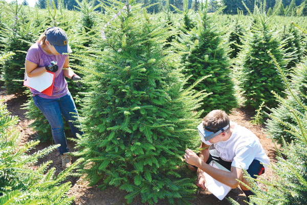 Researchers count aphids on Christmas trees. Photo courtesy of Oregon State University