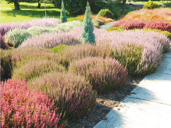 Heather varieties displayed in the gardens of Highland Heather. Photo by Dennis Bauermeister